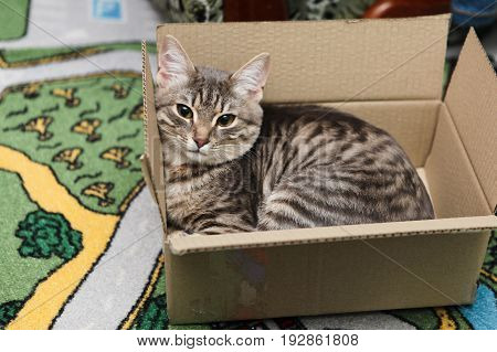 A Gray Cat Lies In A Box, And Looks Into The Camera. Lovely Cat Sleeping In The Box.