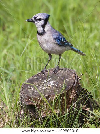Beautiful Blue Jay ( Cyanocitta Cristata ) Perched