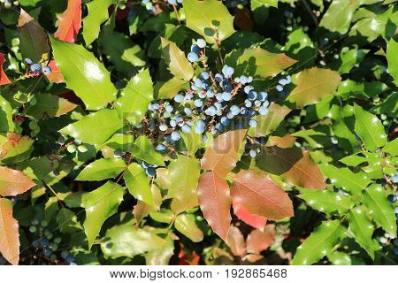 Mahonia aquifolium blue berries and green leaves on a sunny day.