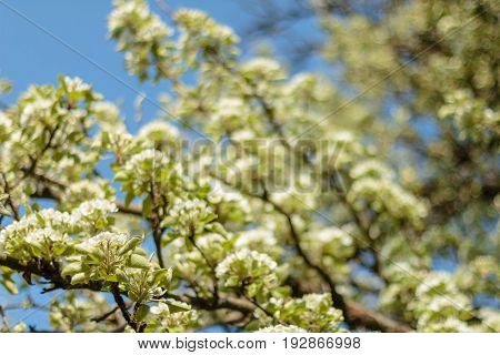 Spring Blossom Art Design. Orchard Scene. Blossoming Tree With Sunbeams. Beautiful Green Nature Back