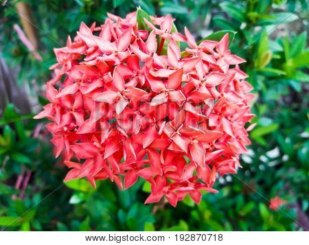 Ixora flower.Red spike flower. King Ixora blooming (Ixora chinensis).