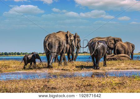 Herd of African elephants crossing shallow river. Watering in the Okavango river. Chobe National Park in Botswana