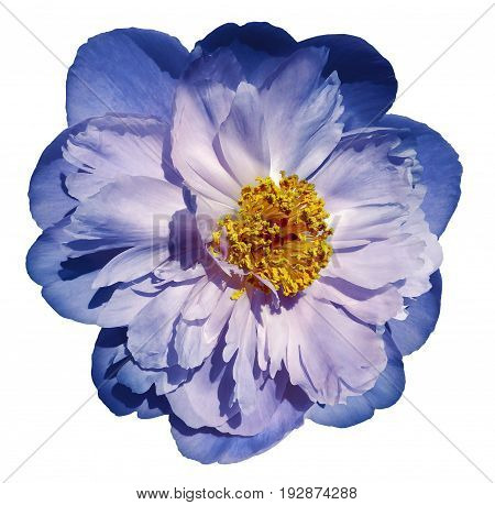 Peony flower blue-pink on a white isolated background with clipping path. Nature. Closeup no shadows. Garden flower.