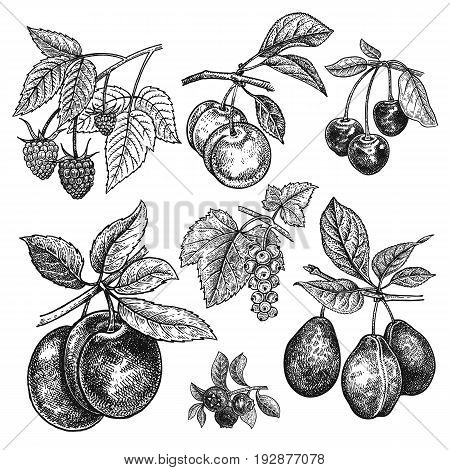 Fruits and berries set. Cherry variations of plum currant raspberry blueberry isolated on white background. Hand drawing realistic. Vintage engraving. Black and white.