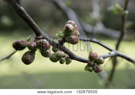 Close Up Of Buds Of Quince