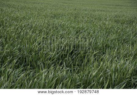 Green Grain Growing In The Field