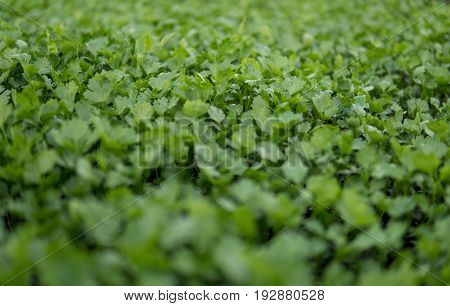 Small Green Celery
