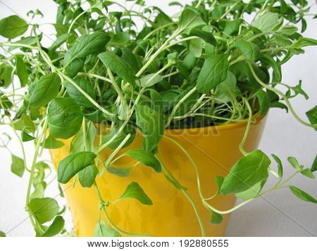 Marjoram with green leaves in yellow flowerpot