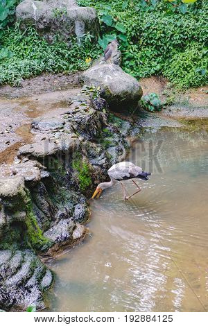 Young Yellow-billed stork or Mycteria ibis looking for food in the pond of Kuala Lumpur Bird park, Malaysia.