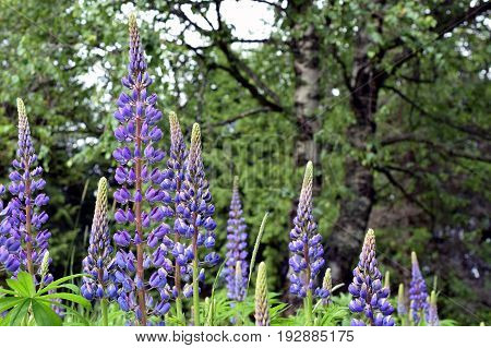 Flowering lupins, Lupinus polyphyllus, also know as large-leaved or big-leaved lupine.