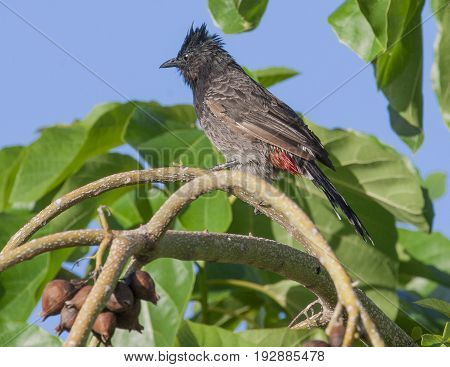 Red Vented Bulbul Perched On Tree Branch