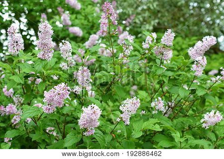 Flowering Hungarian lilac (Syringa josikaea) shrub. Horizontal image