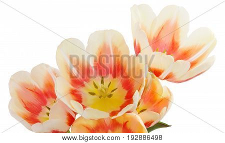 Tulips. Bunch of tulips. Close-up Bouquet of flowers isolated on white background. Flower texture.