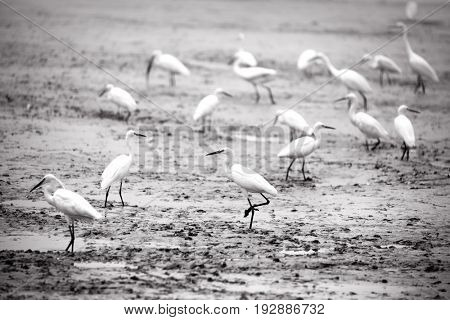 Many Indian little Egret birds