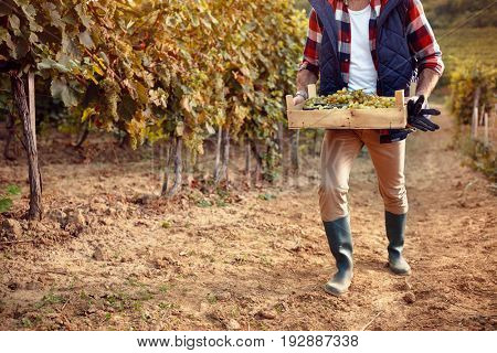 picking white grapes in vineyard