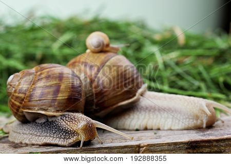 Snail Family .little Snail Mother And Father Snail.analogy.concept Of Family