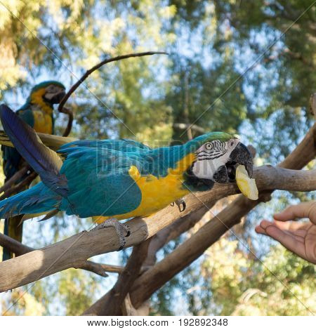 Blue-and-yellow Macaw with a slice of apple in its beak