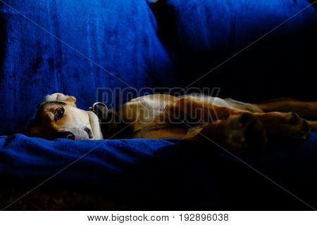 A Dog resting on a blue couch