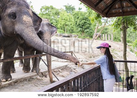 Chonburi Thailand - June 24 2017 Unidentified tourist is feeding elephant at Khao Kheow Open Zoo the biggest zoo in Thailand.