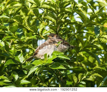 House Sparrow fledglings in Privet hedge in sunlight.