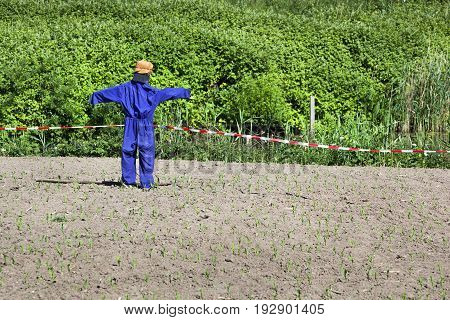 Scarecrow in a field with young plants in the Netherlands