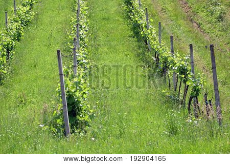 PLESIVICA, CROATIA - JUNE 11: Rows of young grapes in the countryside Plesivica in continental Croatia on June 11, 2016.
