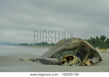 Beautiful beach with pacific ocean background, sandy surface, palm trees with a dead decomposed turtle on the sand, in Muisne Island Ecuador.