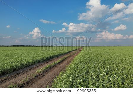 Pea Field With Countryroad