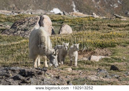 a mountain goat nanny with her twin kids in the alpine