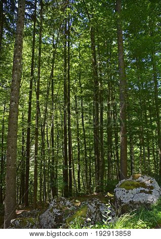 A shady alpine pine forest near Pontebba in Friuli Venezia Giulia north east Italy poster