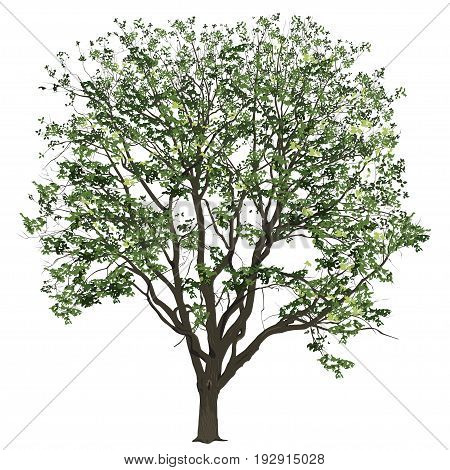 Big tree of an elm with leaves in the summer the color vector image on a white background