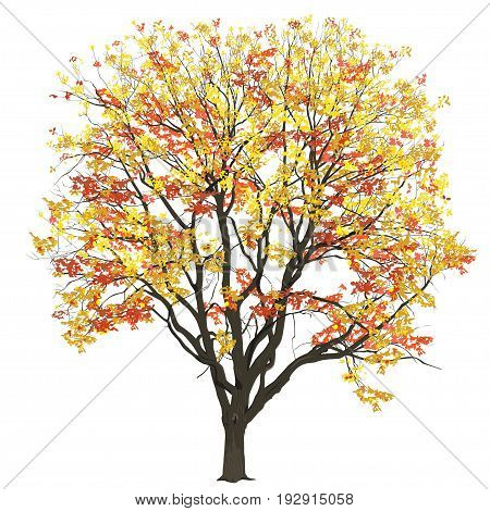 Big tree of an elm with leaves in the fall the color vector image on a white background