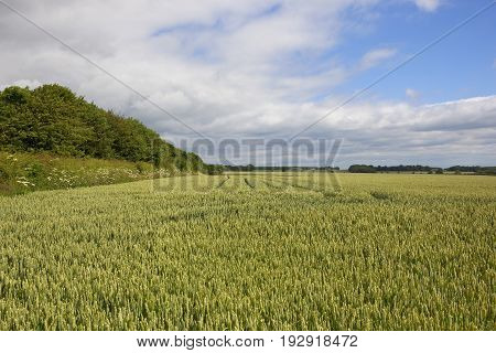 Wheat Field And Hedgerow