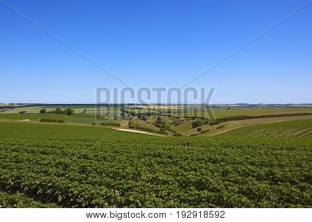 Potato Crop And Valley