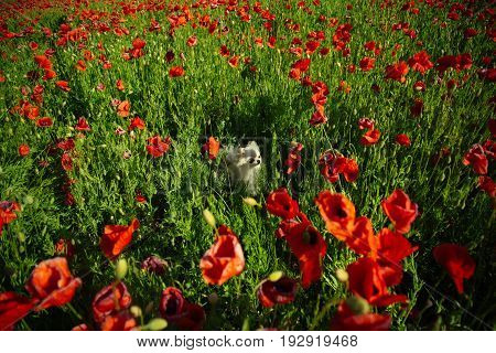 dog pet of pomeranian spitz in flower field of red poppy seed with green stem on sunny natural background summer drug and love intoxication opium