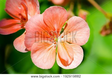Beautiful muscat geraniums flower with green background in the garden. Selective focus. Close up.