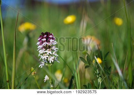 Summer flower - burnt orchid - among green grass straws and yellow blurred flowers
