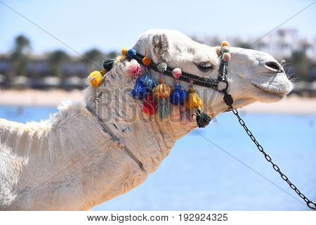 Camel animal as egypt transportation with head decorated by colorful multicolored pompons on background of blue ocean outdoor