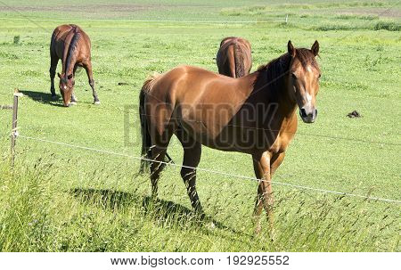 Three horses grazing in a field on a Wisconsin farm.