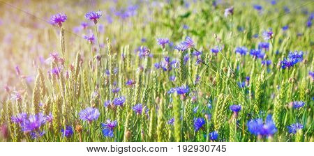 flowers field wide background in sun light. Summer flowers. Beautiful nature scene with blooming medical chamomilles. Alternative medicine. Spring flower background Beautiful meadow