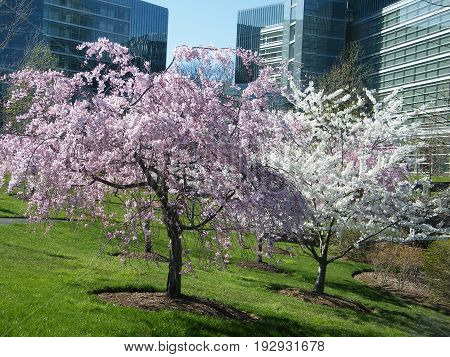 Pink and White Cherry Blossoms in Tysons Corner near Washington DC USA