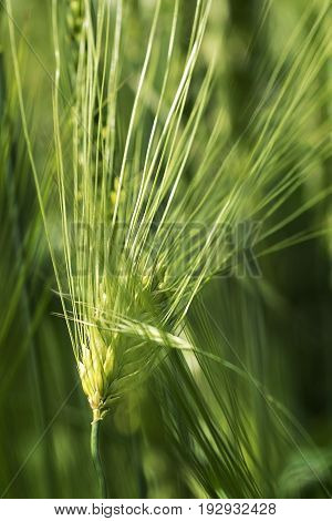ripening ear of wheat green background clouse-up