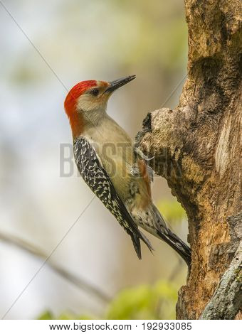A beautiful Red-bellied Woodpecker perches on the side of a tree as it feeds in a Wisconsin woodland.