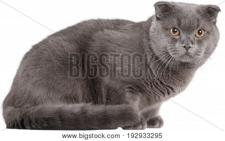 Portrait cat short british shorthair british shorthair animal themes