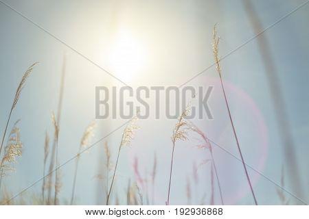 Beautiful serene waving reed in the sunlight