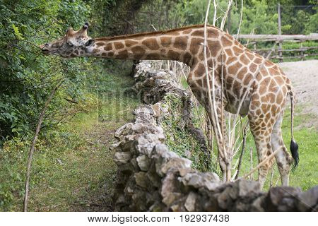 Giraffe Eating Leaves From A Tree.