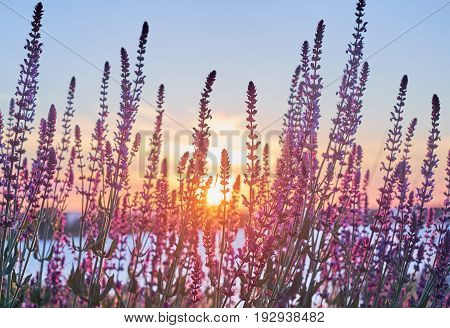 Beautiful sunrise with beams light through the saliva flowers. Little violet sage florets in the light of the sunset