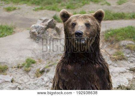 The Brown Bear Stands On Its Hind Legs And Looks Around