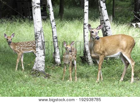 Two Whitetail Fawn and One Whitetail Doe in Woods