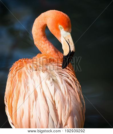 Pink flamingo on a pond in nature .